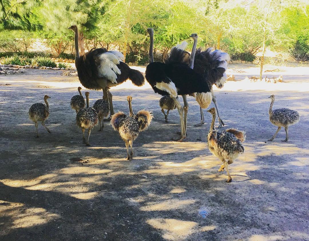 Ostrich chicks & ostrich fertile eggs for sale whatsapp +27734531381
