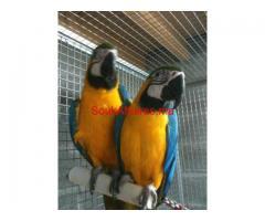 Couple de perroquets ara ararauna EAM