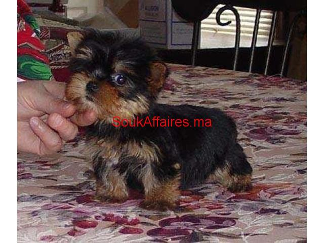 Yorkies Terrier chiots pour adoption