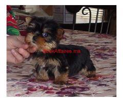 Yorkies Terrier chiots pour adoption